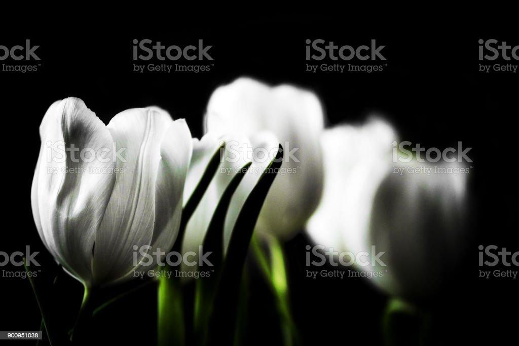 White Tulpen – Foto