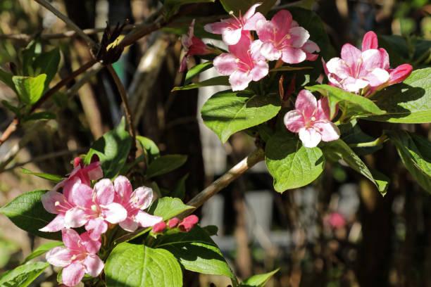 Weigela Florida minuet flowers in full bloom