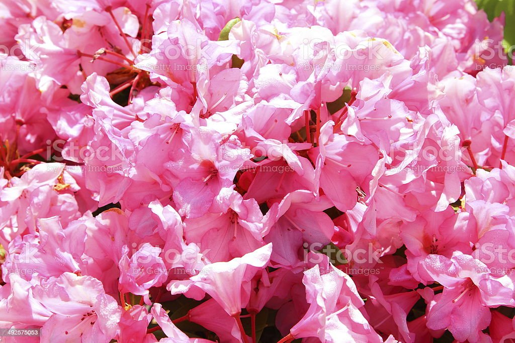 Weigela florida pink flowers on bush with morning dew stock photo