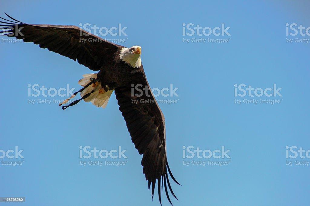 Weißkopfseeadler / Sea eagle stock photo