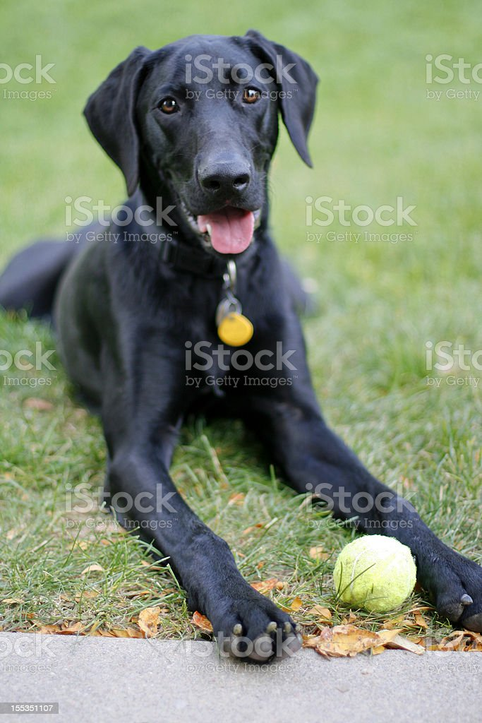 Weimador Dog 2 royalty-free stock photo