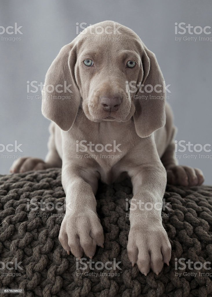 weimar puppy portrait stock photo