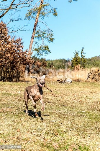 Weimaraner carries a stick in the forest. Training of hunting dogs. Spring walk in nature. Morning sun. Young hunting dog on a walk.