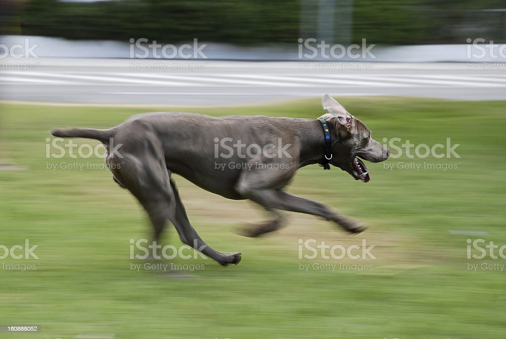 Weimaraner dog royalty-free stock photo