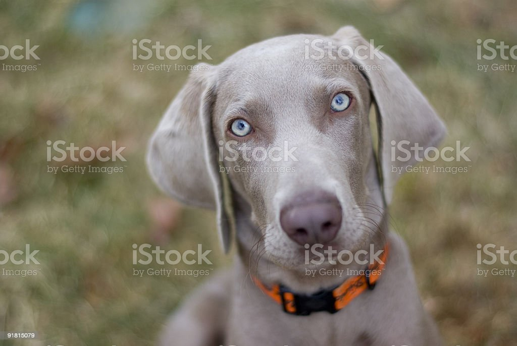 Chiot chien Braque de Weimar - Photo