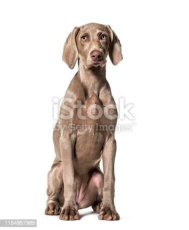 Weimaraner dog sitting against white background