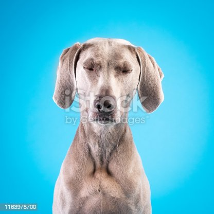 The light gray dog looks calm, sleepy, relaxed.  The image is almost symmetrical. It is sitting obediently