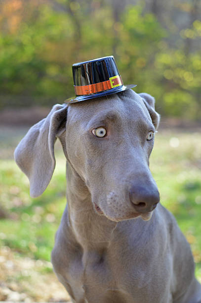 "Weimaraner Dog Wearing a Pilgrim Thanksgiving Hat In this image, my pet Weimaraner is outside in the fall wearing a pilgrim Thanksgiving hat.  This image is part of my ""Thomas Hats"" series which is holiday/season themed. thanksgiving pets stock pictures, royalty-free photos & images"