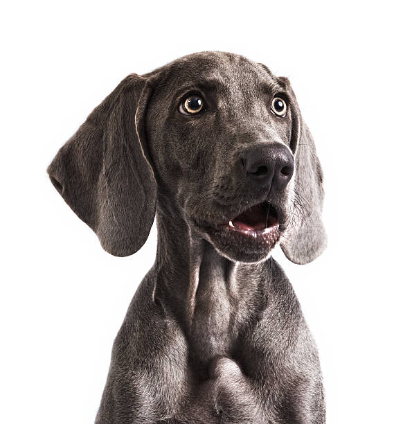 Weimaraner in awe Four months beautiful Weimaraner puppy with mouth open and staring with surprise isolated on white background. disbelief stock pictures, royalty-free photos & images
