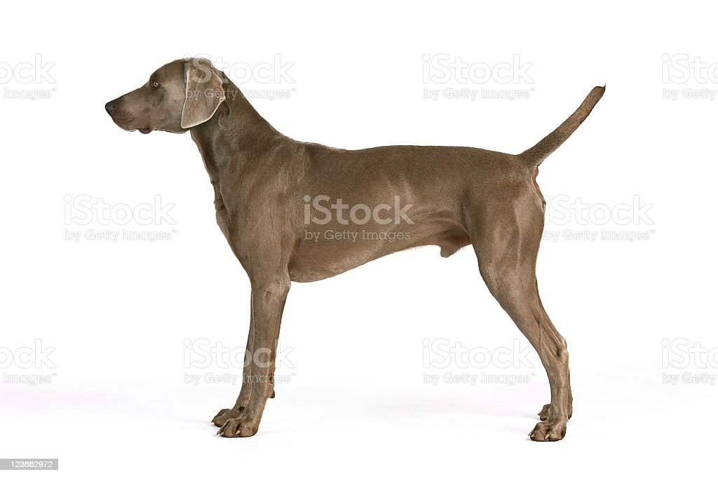 Weimaraner in his typical pose stock photo