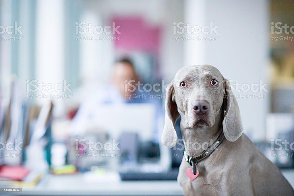 Braque de Weimar dans le bureau - Photo
