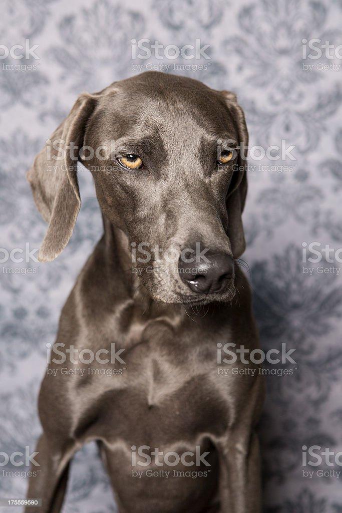 Weimaraner in Studio royalty-free stock photo
