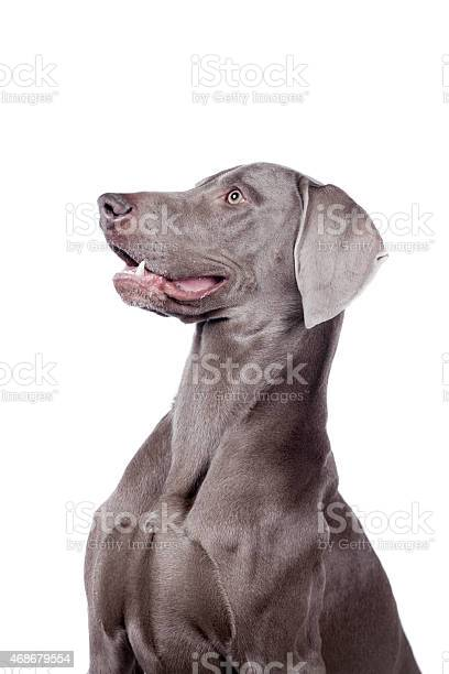 Weimaraner isolated on white picture id468679554?b=1&k=6&m=468679554&s=612x612&h=d cagxery2jkxre2flt w2jjuexead9vpq63in2hkzy=