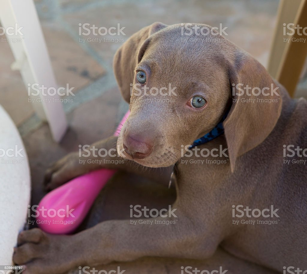 Weimaraner puppy at rest stock photo