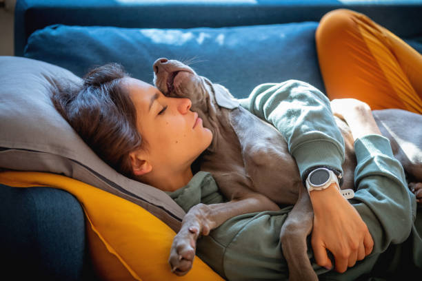 Weimaraner puppy lying on top of young woman stock photo