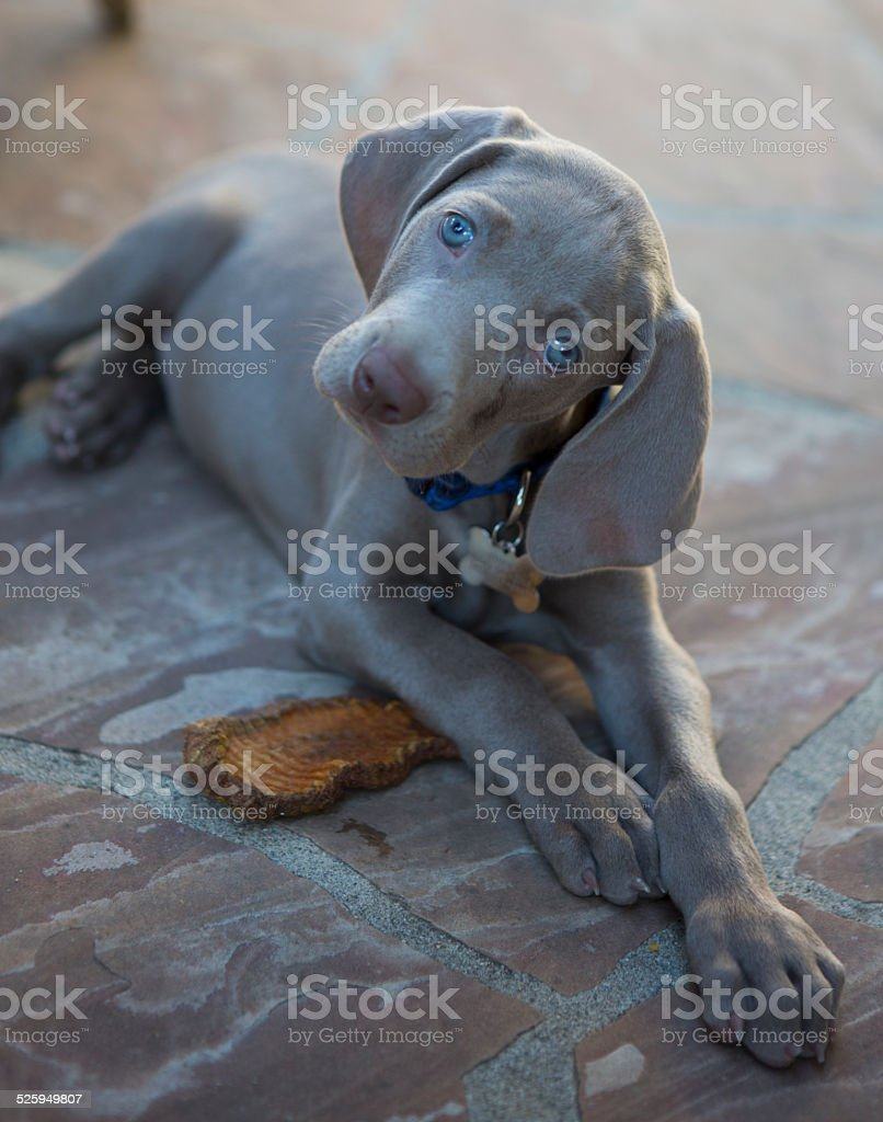 Weimaraner puppy on patio stock photo