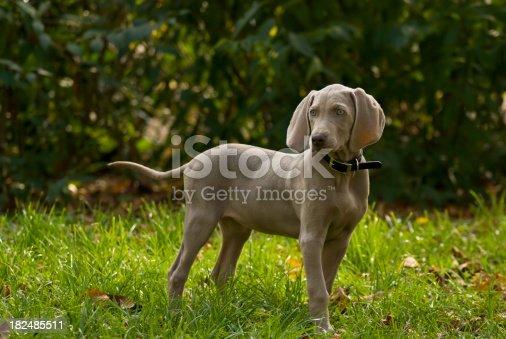Portrait of weimar pet standing on grass.