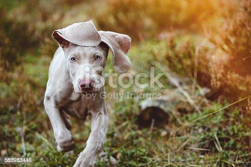 Two months old Weimaraner in the forest