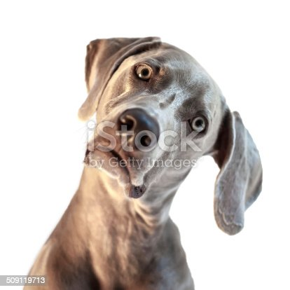 A beautiful, young Weimaraner with his head cocked to the side isolated on a white background.