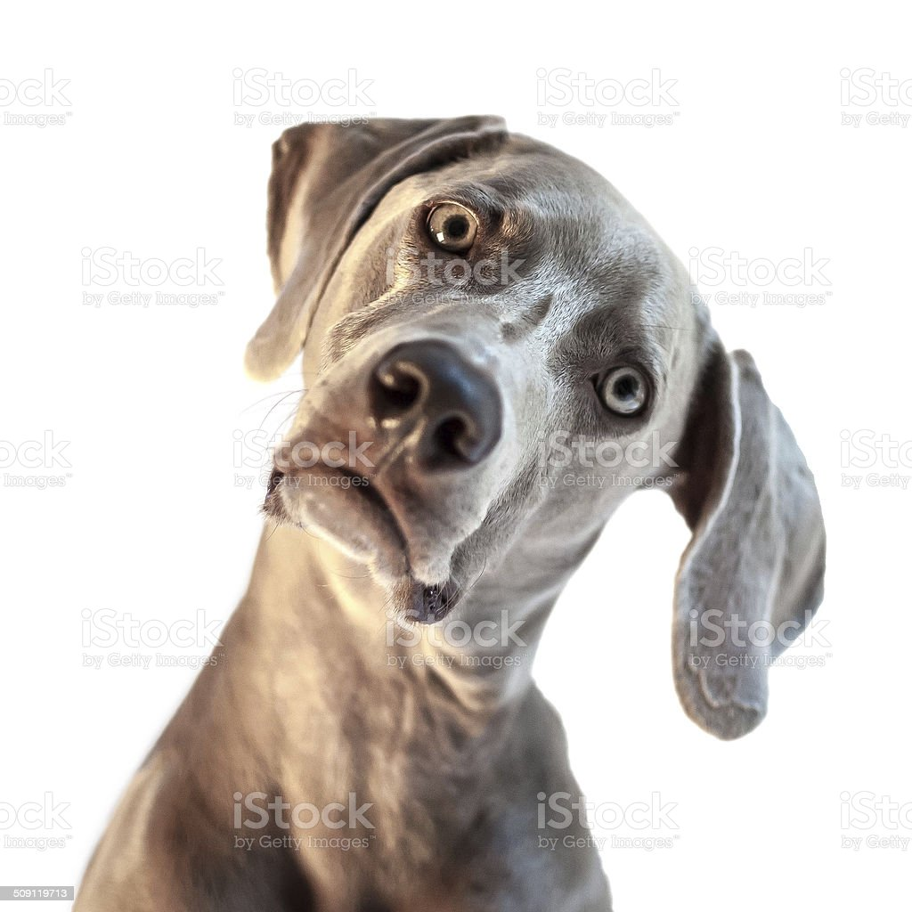 Weimaraner with head cocked stock photo