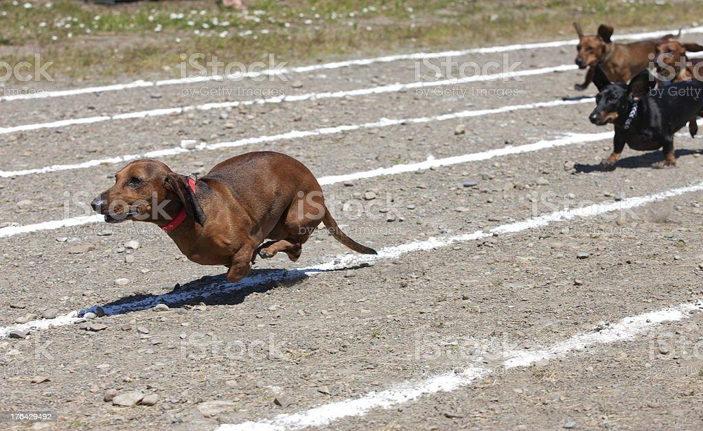 Weiner dog race. stock photo