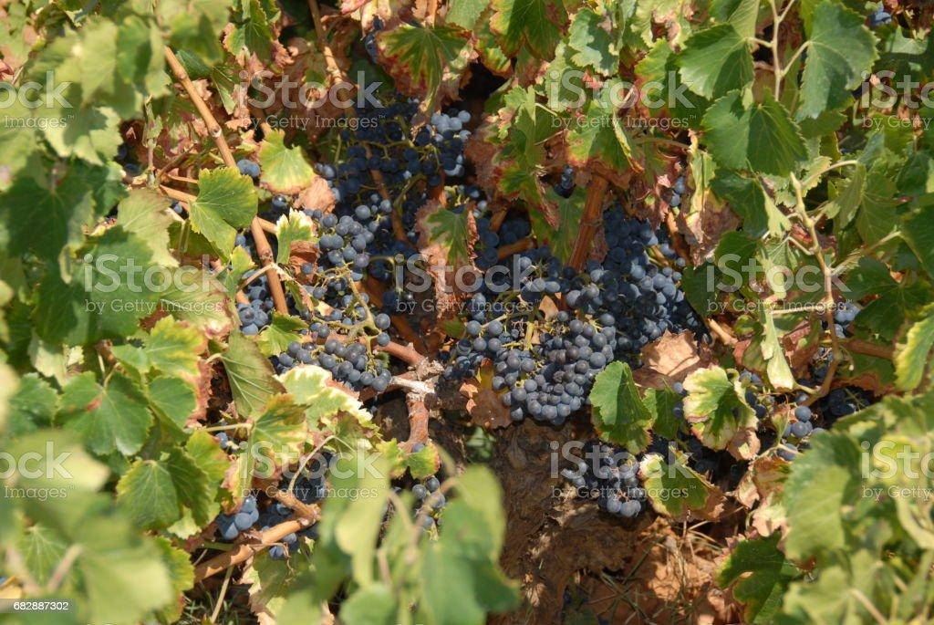 Weinfeld - Weintrauben in Spanien Lizenzfreies stock-foto