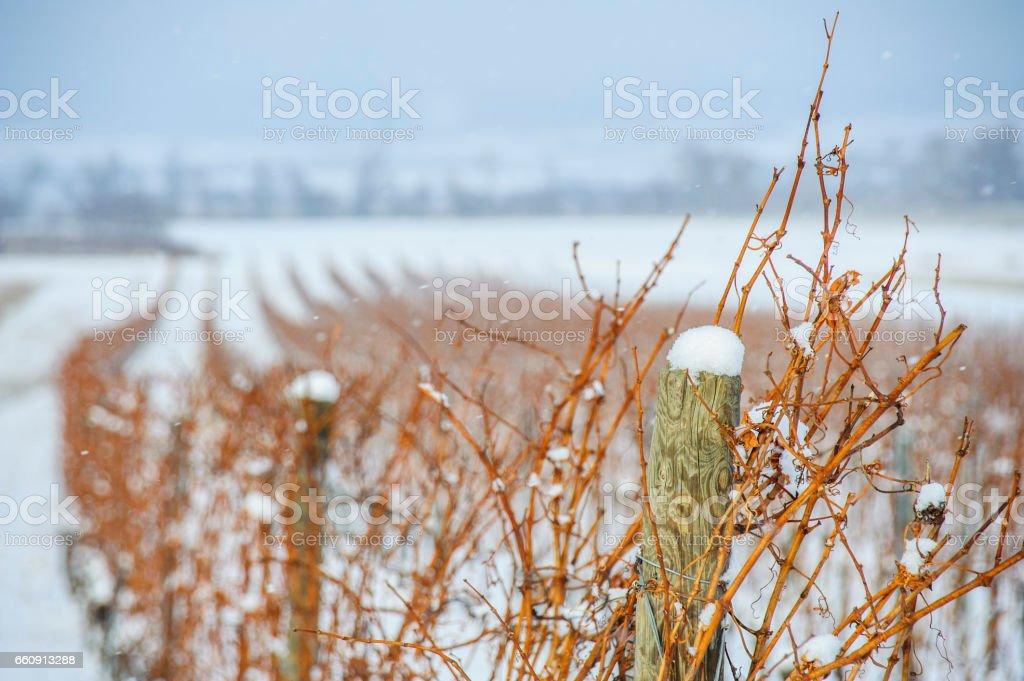 Weingarten Im Winter Bei Schneefall – Foto
