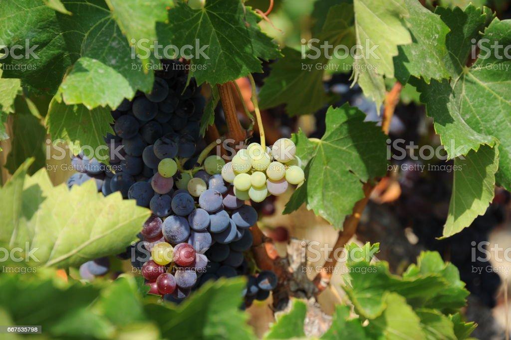 Weintrauben in Spanien foto stock royalty-free