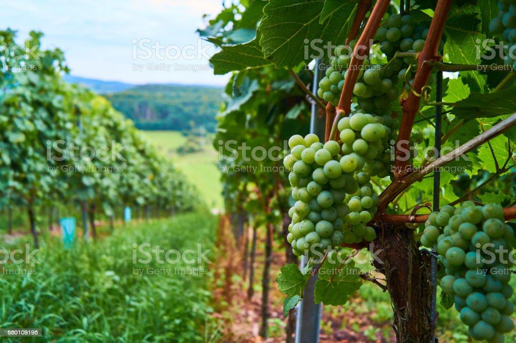 Weintrauben stock photo