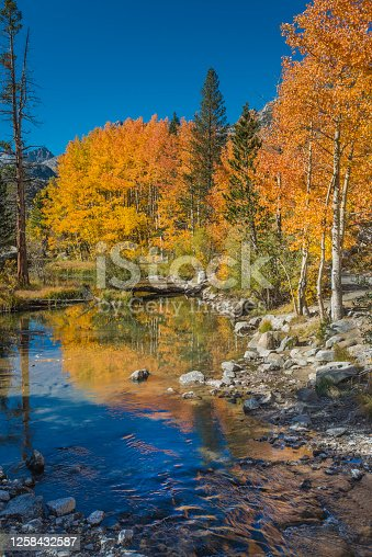 Weir pond with quaking aspens in full fall color and reflections in the middle fork of the Bishop Creek in Inyo National Forest, East side of the Sierra Nevada Mountains of California.