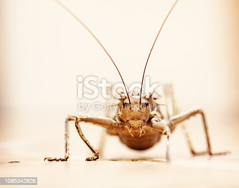 Close-up of the face of a weird katydid insect known as an armoured ground cricket, or Acanthoplus discoidalis.