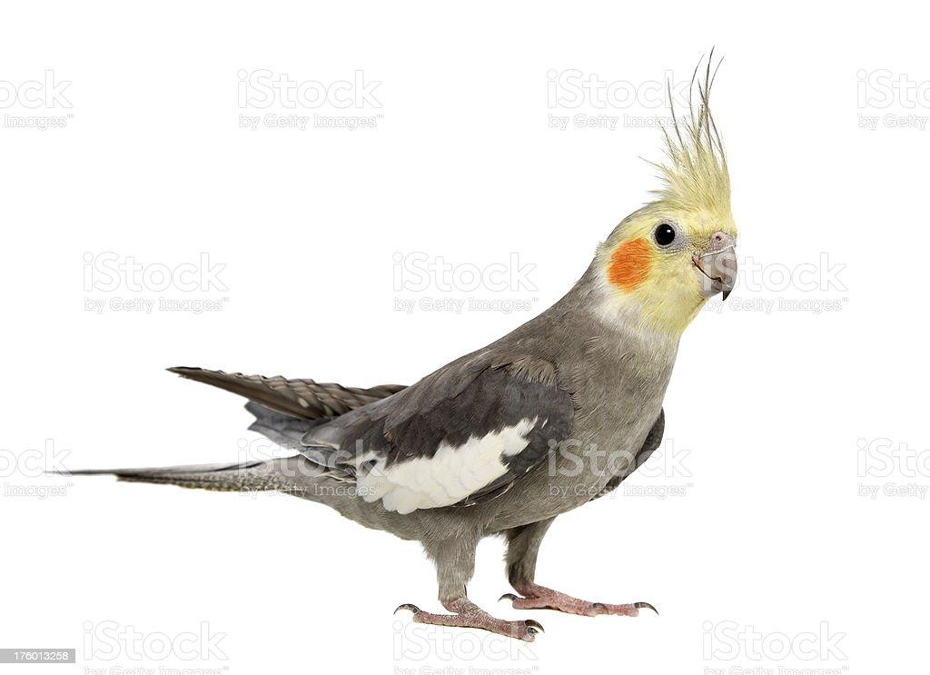 Weiro Bird stock photo