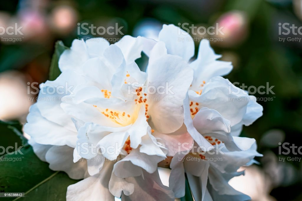 Weisse Kamelie - Camellia - Hybride 'Scentuous'  Theaceae stock photo