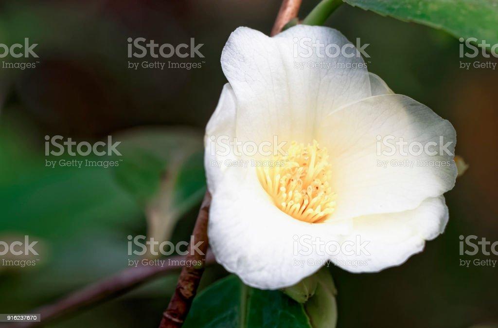 Weisse Kamelie - Camellia Nitidissima-Hybride 'Kicho' stock photo