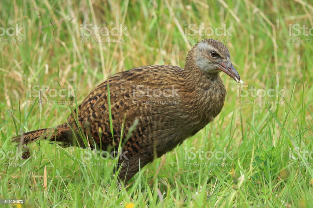 Weka, a flightless bird native to New Zealand stock photo