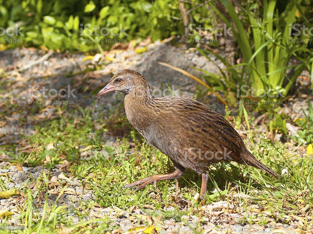 Weka bird royalty-free stock photo