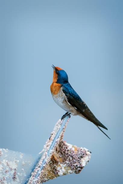 Welcome Swallow (Hirundo neoxena) stock photo