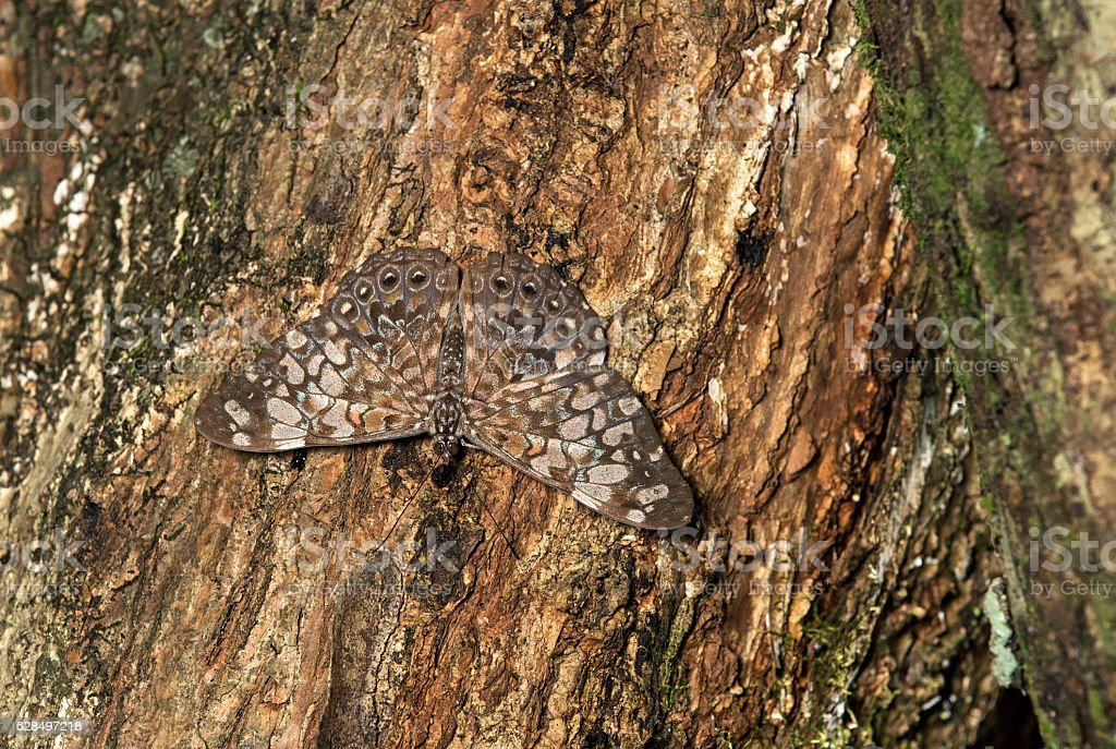 Well camouflaged butterfly,  Hamadryas species – Foto
