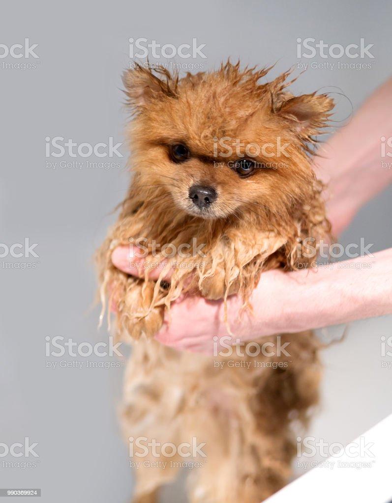 Gut Präparierte Hund Pflege Pflege Der Pommerschen Hund Lustige