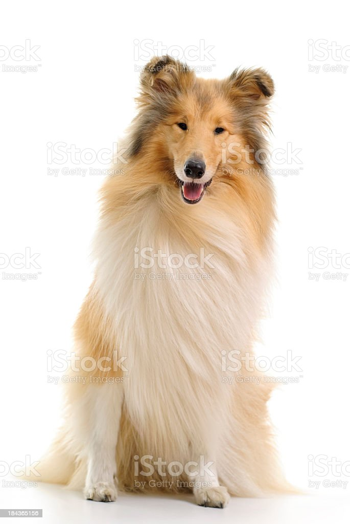 Well groomed sable and white collie stock photo