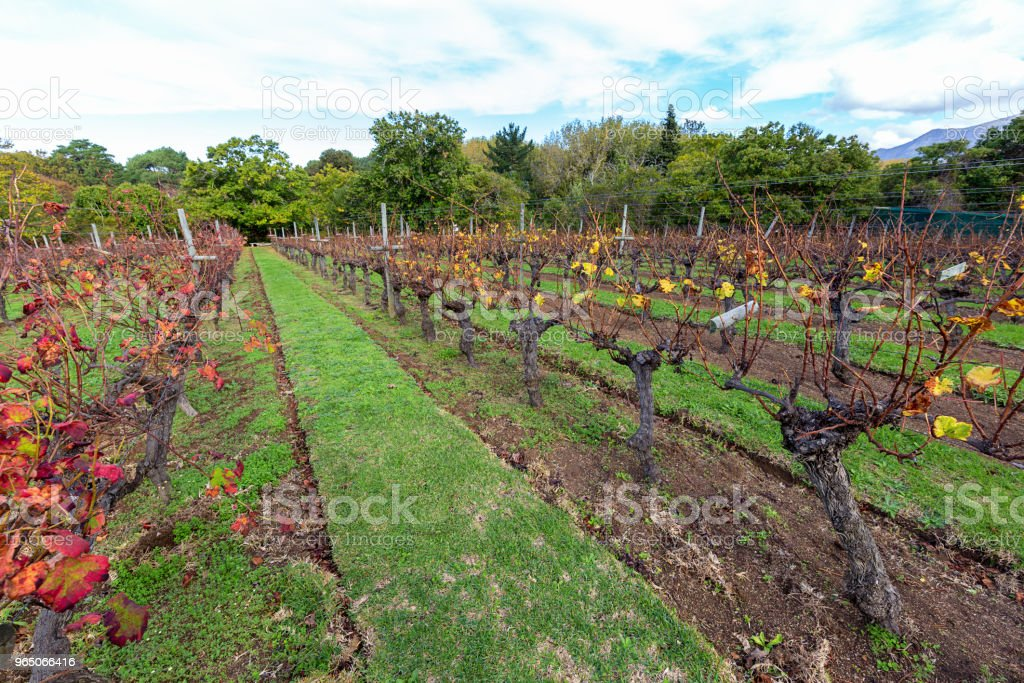 well tended vineyard royalty-free stock photo