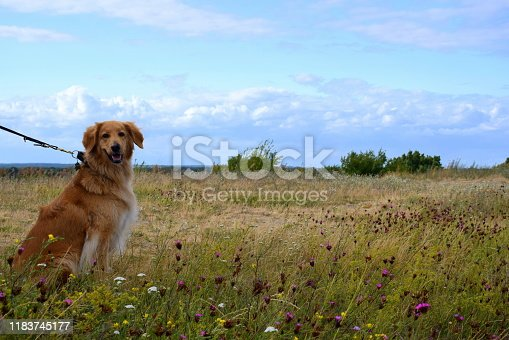 A well trained male brown dog sitting and looking in front of it while being surrounded by various herbs, plants, and grass being a part of a vast field, meadow, or pastureland seen on a cloudy day
