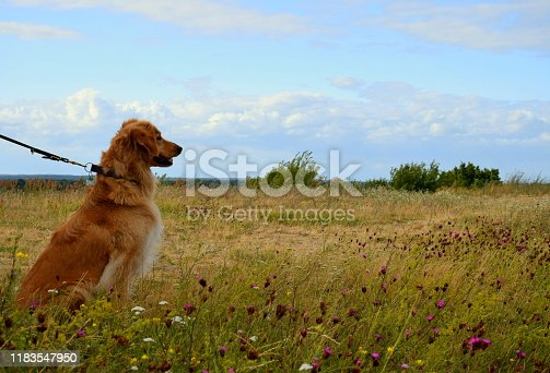 A well trained male brown dog sitting and looking in the distance while being surrounded by various herbs, plants, and grass being a part of a vast field, meadow, or pastureland seen on a cloudy day