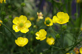 Well-branched yellow meadow buttercups in sturdy health, close up of yellow flowers.