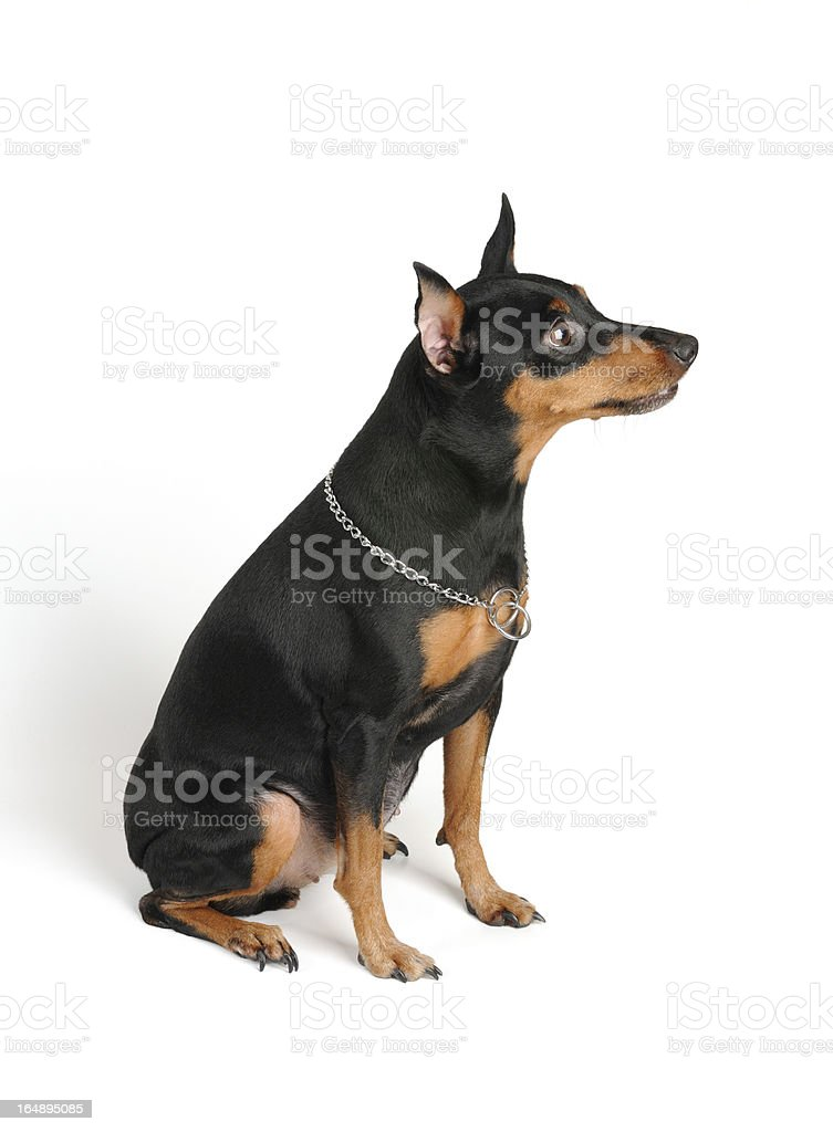 Well-bred Miniature Pinscher royalty-free stock photo