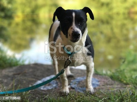 885056264istockphoto Weller the Jack Russell Terrier - Pet Love 1187709840