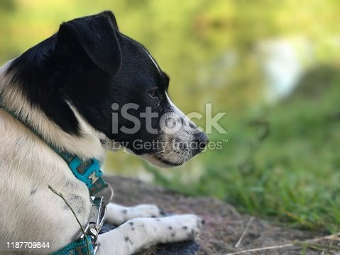 885056264istockphoto Weller the Jack Russell Terrier - Pet Love 1187709844