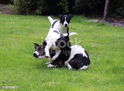 885056264istockphoto Weller the Jack Russell Terrier - Pet Love 1187709877