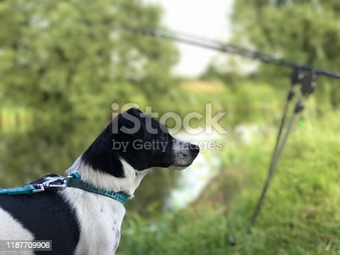 885056264istockphoto Weller the Jack Russell Terrier - Pet Love 1187709906