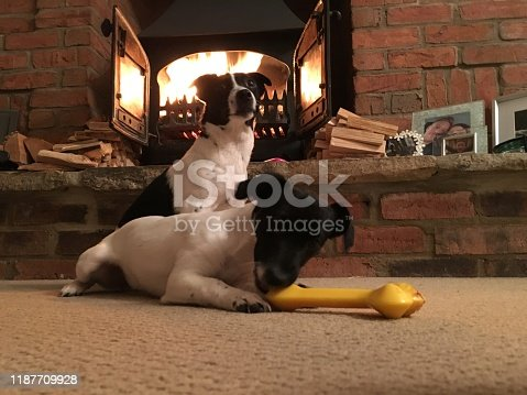 885056264istockphoto Weller the Jack Russell Terrier - Pet Love 1187709928